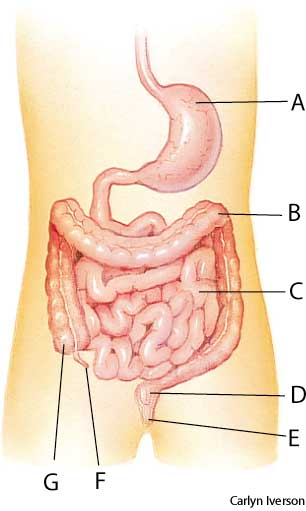 American Heritage Dictionary Entry Intestine